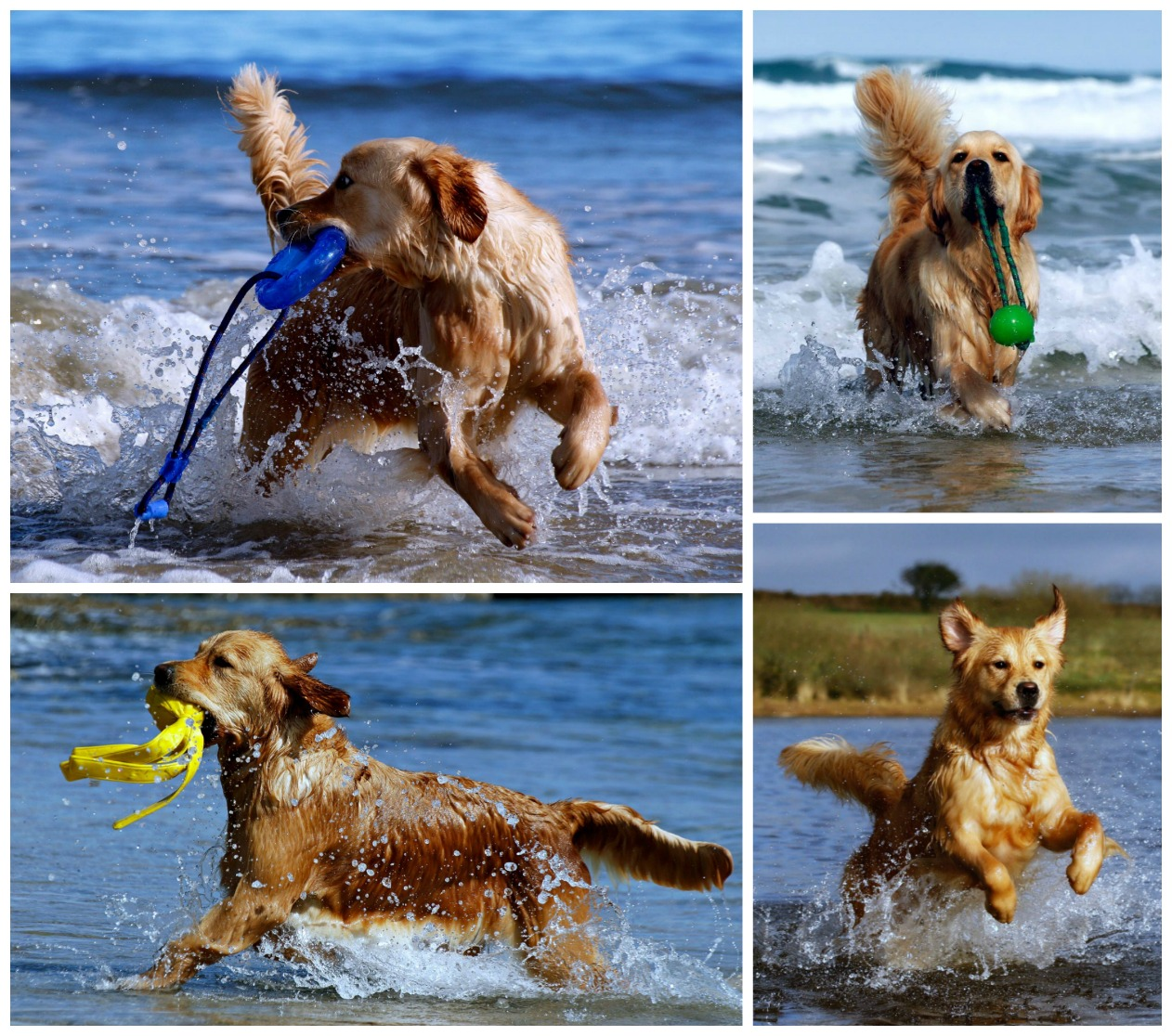 Golden retrievers playing and retrieving crashing through blue seas and water