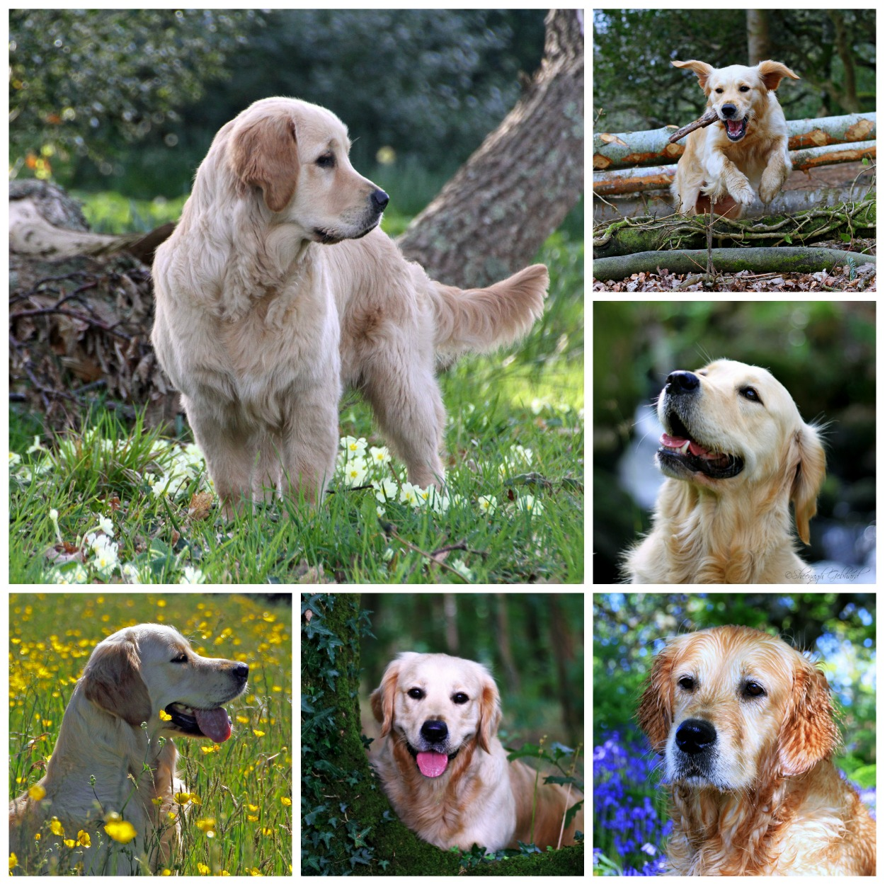 Calacarey Golden Retriever Dogs